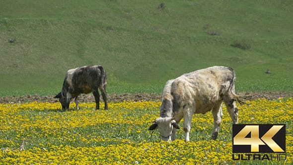 Thumbnail for Cows Grazing on Spring Nature