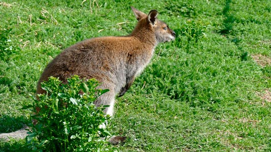 Thumbnail for Kangaroo