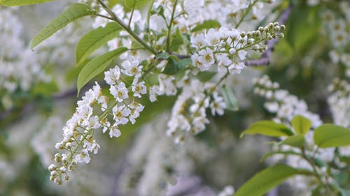 Branches of Bird Cherry 4