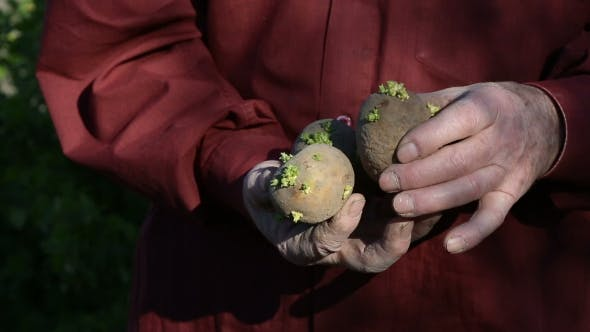 Thumbnail for The Old Man Hands Holding Potatoes For Planting