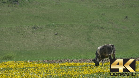 Thumbnail for Cow Grazing Freely