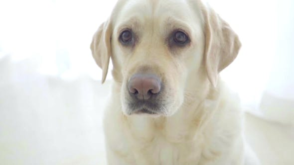 Thumbnail for Cute Nice Labrador Waiting For Treat