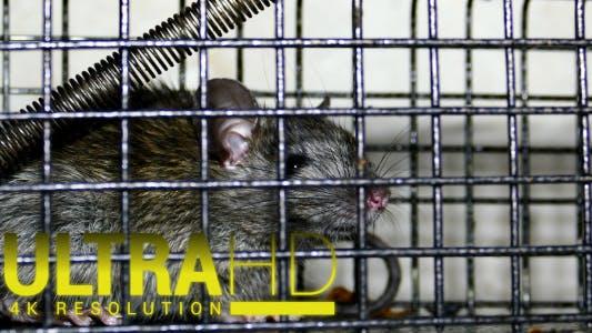 Thumbnail for Rat Trap 1