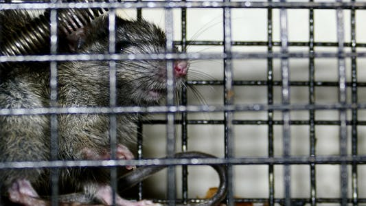 Rat Trap 2
