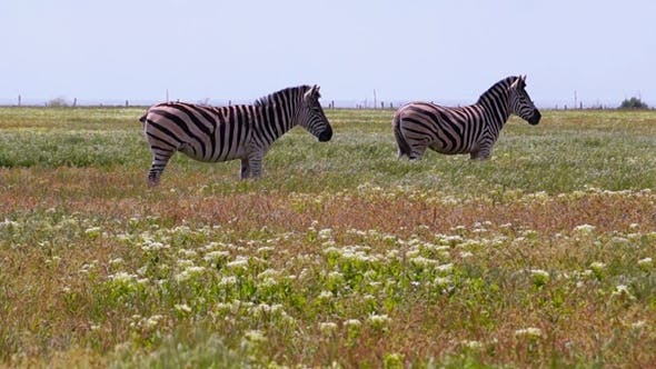 Thumbnail for Zebras Grazing on a Hot Day