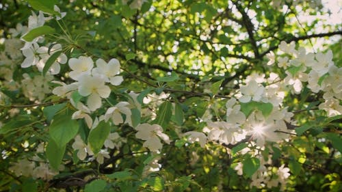 Freshness And Flourishing. Flowering Branch Of Apple