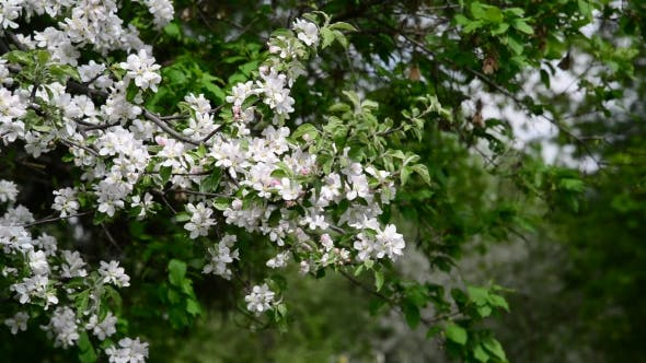 Thumbnail for Apple Orchard In Bloom White Flowers
