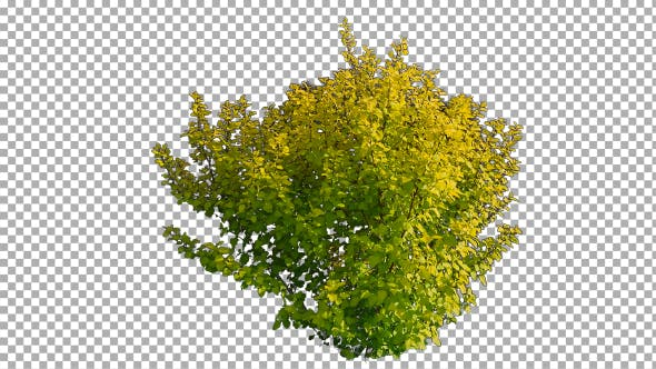 Thumbnail for Real Shrub On The Wind Isolated 2