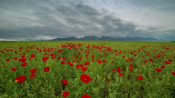 Thumbnail for Blossoms Red Poppies In The Field Move In Wind, Mountains In Background In Kazakhstan -