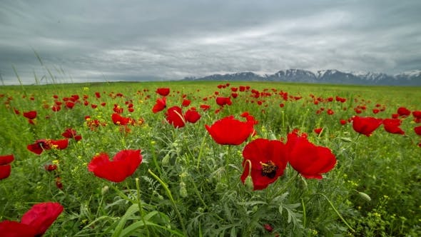 Cover Image for Beautiful Blossom Red Poppies Flower Landscape, Windy And Cloudy Weather In Kazakhstan -