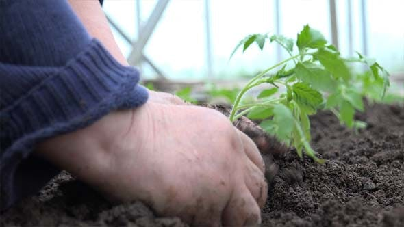 Thumbnail for Grandmother Planting A Tomatoes Seedling 3