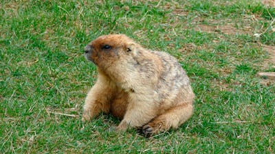 Fat Marmot