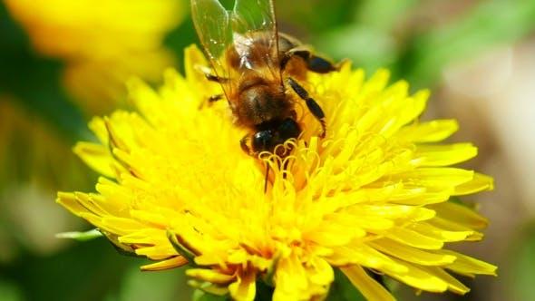 Thumbnail for Bee On Dandelion