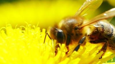 Bee On Dandelion...