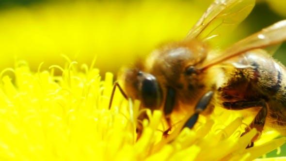 Thumbnail for Bee On Dandelion...