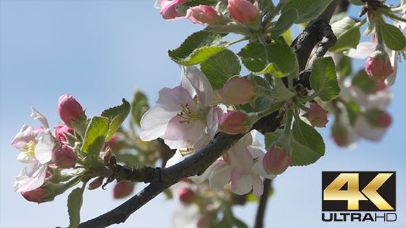 Thumbnail for Branch of Apple Blossoms