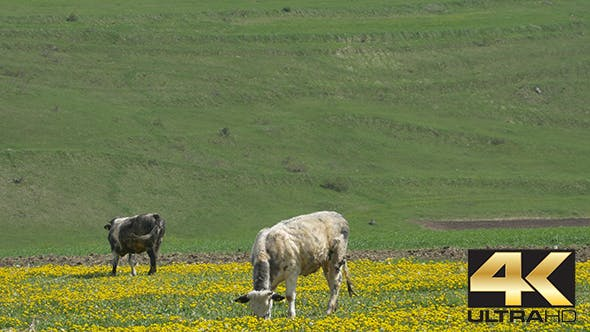 Thumbnail for Cows Grazing on Spring Fields