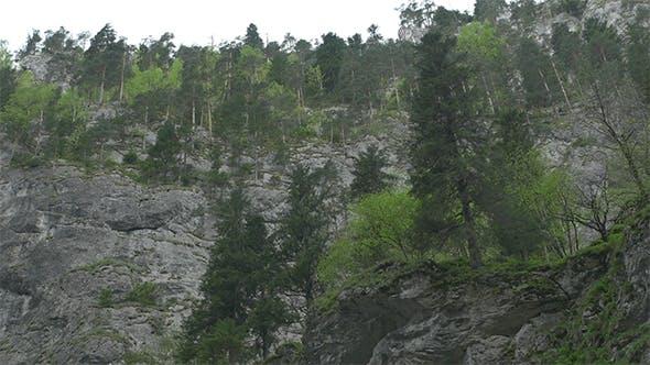 Thumbnail for Fir Trees over Steep Mountain