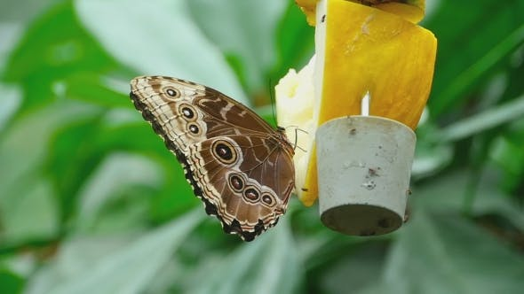 Cover Image for Tropical Butterfly Feeding