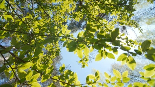 Thumbnail for Leaves Against a Bright Blue Sky.