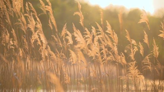 Thumbnail for Sonnenuntergang durch die Schilf. Silbernes Federgras schwankend im Wind.