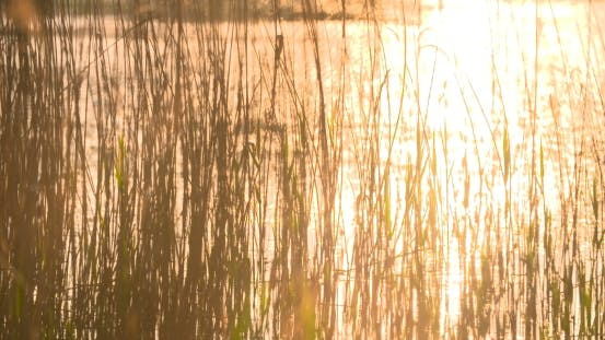 Thumbnail for Sunset Through The Reeds. Silver Feather Grass Swaying In Wind.