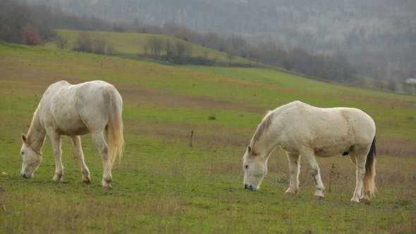 Thumbnail for Two Beautiful White Horses Grazing In Pasture