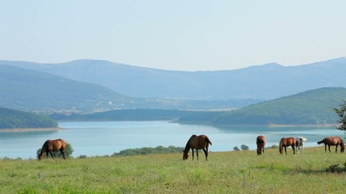 Herd Of Horses Grazing At Mountain Valley