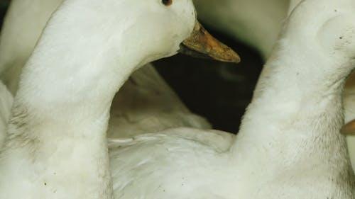 White Ducks In Barn