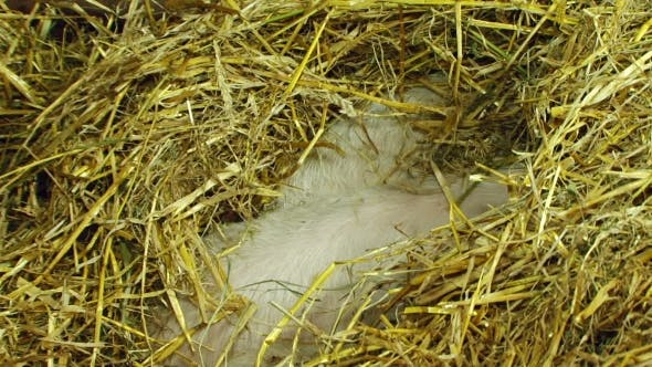 Thumbnail for Three Piglets Playing In Straw