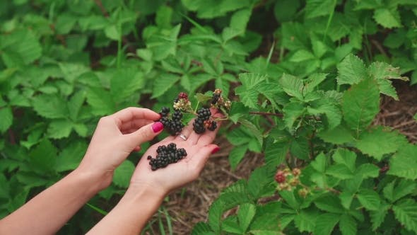 Thumbnail for Large Ripe Blackberries