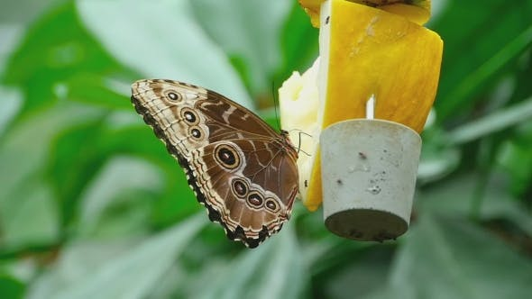 Thumbnail for Tropical Butterfly Feeding
