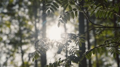 Dawn In The Forest