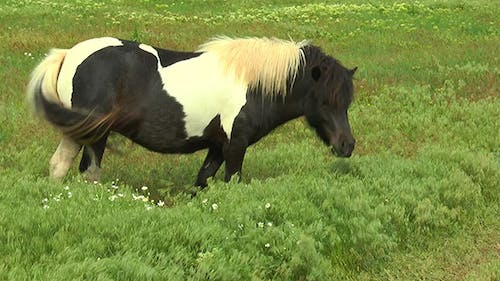 Pony Grazing in the Steppe