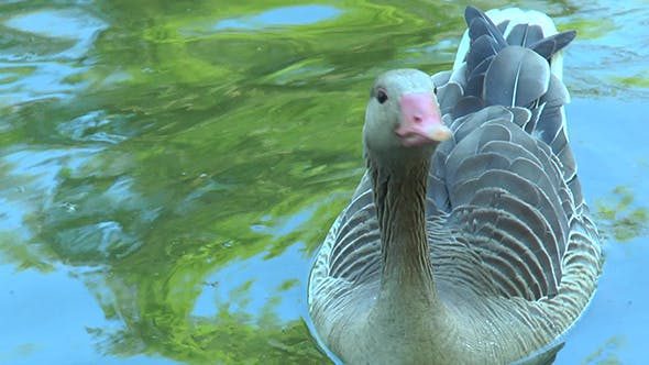 Grey Goose Floats in the Pond