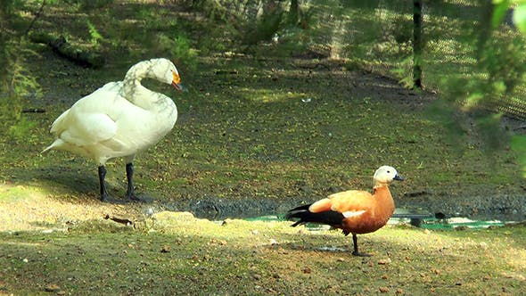 Whooper Swan and Duck on the Bank of the Stream