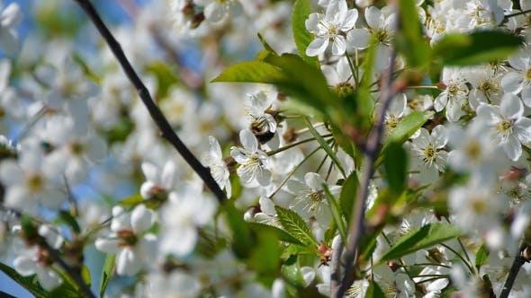 Bee Pollinating Flowering Trees