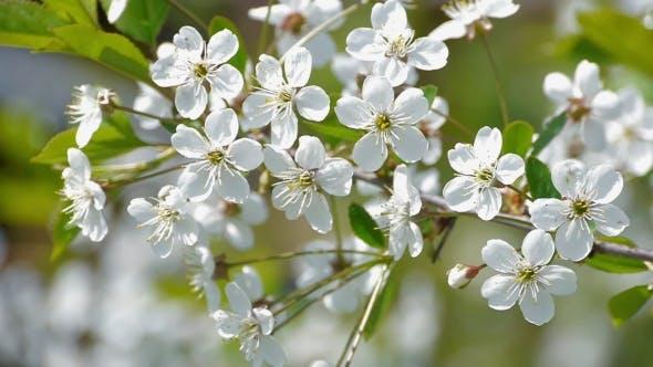 Bee Pollinating Flowering Trees Spring Flowers