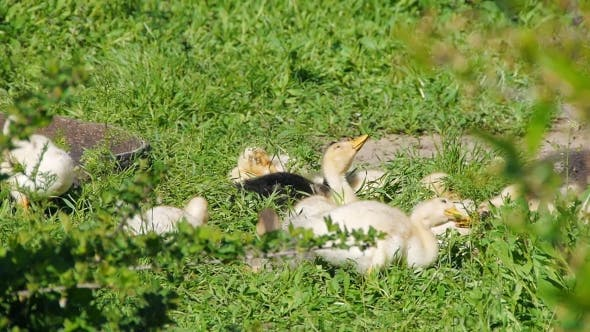 Thumbnail for Ducklings Walking Through The Grass Drinking Water