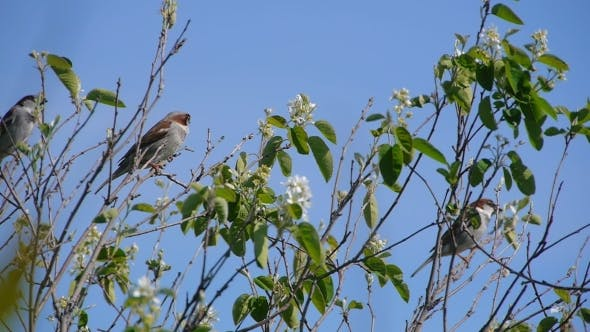 Thumbnail for Flock Of Sparrows Perched On The Branches Of Trees Against The Blue Clear Sky, Nature, Animal Bird