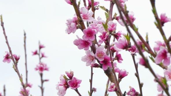 Peach Tree Blossom In Spring