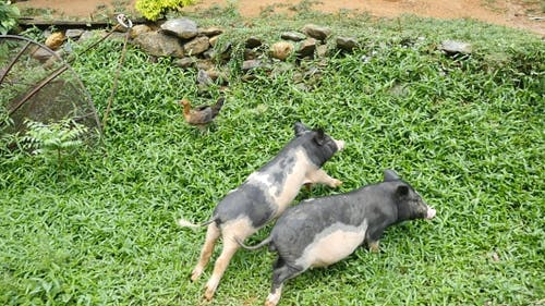 Pigs Running In Countryside