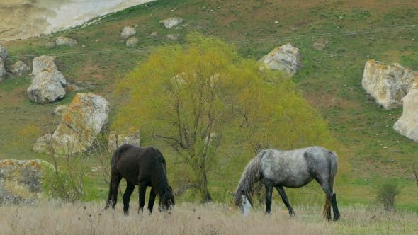 Thumbnail for Two Wild Horses Grazing At Pasture