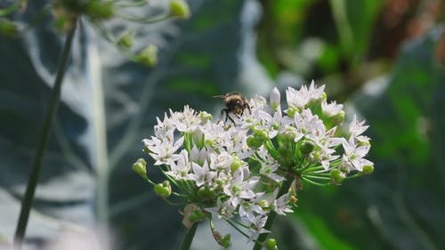 Bumblebee At Onion Flower