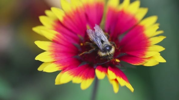 Thumbnail for Bumblebee On a Flower Gailardia