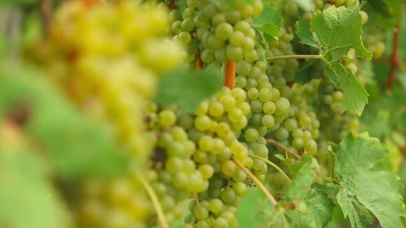 Thumbnail for White Grapes Bunches