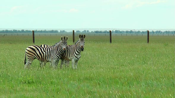 Thumbnail for Three Zebras in the Steppes