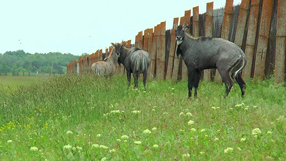 Cover Image for Nilgai Antelope Standing in the Steppes Near the Fence