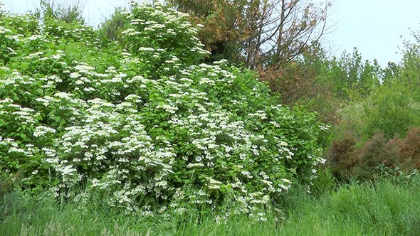 Thumbnail for Shrub With White Flowers Viburnum Opulus