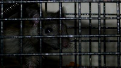 Rat Trap 5